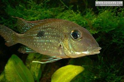 Geophagus camopiensis - large.Geophagus-camopiensis-5.jpg.58dbb3ba61f9585c507a1078989ec124.jpg