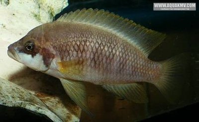 Neolamprologus mustax