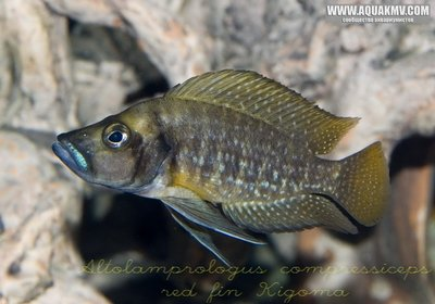 Altolamprologus compressiceps red fin Kigoma - gallery_1216_9_121731.jpg