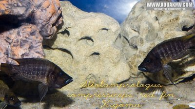 Altolamprologus compressiceps red fin Kigoma - gallery_1216_9_107820.jpg