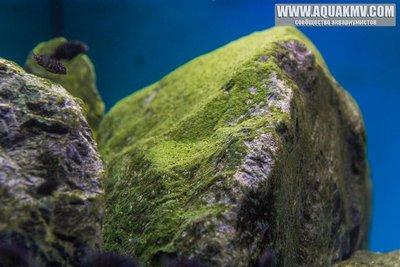 Темы для биотопных аквариумов Танганьики - 13315306_10208063799287494_2302494331445388158_n.jpg.32a2750c7544de29991a4f9a223eccce.jpg