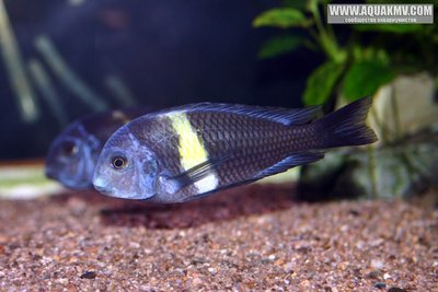 Tropheus duboisi Yellow band - Karago . - gallery_1_19_80613.jpg