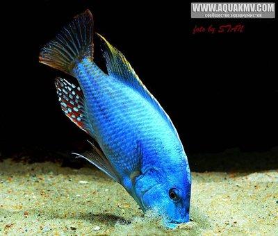 Nimbochromis fuscotaeniatus - large.12923241_596173250547654_1628265644828298631_n.jpg.642c31a6ec7f16b550fe42f7feebae31.jpg