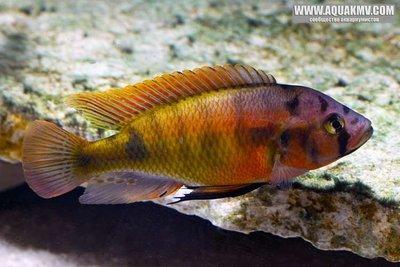 Pundamilia sp red head  - large.RedHead3173.jpg.129a38d9b80b479d3de63d1ff66097fb.jpg