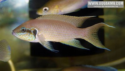 Neolamprologus brichardi Fulwe Rocks  - 56a7a459a5d35_NeolamprologusbrichardiFulweRocks.thumb.jpg.05a897be284af0129a6d4208eacffe6b.jpg