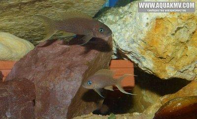 Neolamprologus gracilis фото Benoit Jonas
