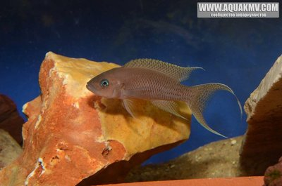 Neolamprologus gracilis фото Benoit Jonas - 56a7a46d57a3a_.thumb.jpg.5d105fa373b731429c9939ca9c636271.jpg