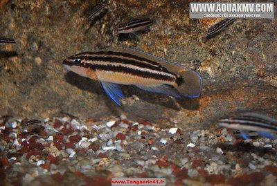 Chalinochromis popelini - IMG_1946.JPG