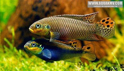 Pelvicachromis kribensis Moliwe - IMG_1953.JPG
