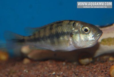 Ptyochromis sp. Hippo Point salmon  - Fire_Red_Weibchen_2.jpg.8b84f7c38d0ed6c3dc41769f6396d04e.jpg