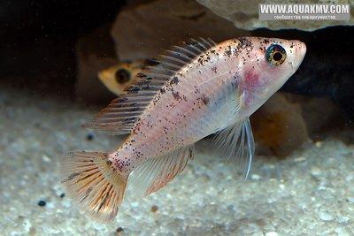Haplochromis sp. red fin piebald  - RedFinPiebald7530.jpg.c21c626b4fa5a0385b9baf247e42e348 (1).jpg