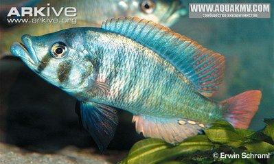 aralabidochromis chilotes - Haplochromis-chilotes.jpg.d3a2913182b9f8221b485eba4057b8a9.jpg