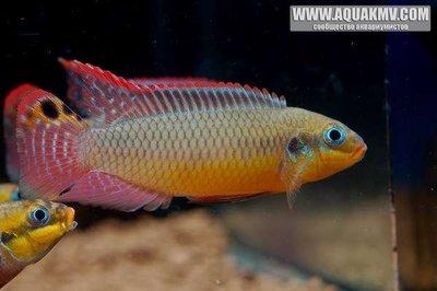 Pelvicachromis taeniatus Moliwe  - IMG_2051.JPG