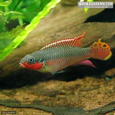 Pelvicachromis taeniatus Nigerian Red - IMG_2052.JPG