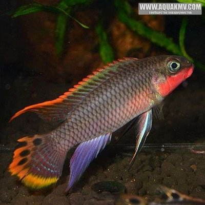 Pelvicachromis taeniatus Nigerian Red - large.cf25a3343f184cd2405cf87a8a37e330.jpg.f1b8428826b5e6526ab6c2668c58685d.jpg