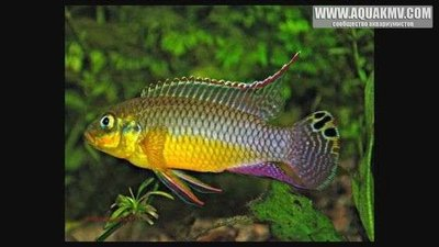 pelvicachromis kribensis makoure - large.25c2937594a65b1185c66b25097f6e5a.jpg.ac57ce9c6a1c15dafcb0a4274402f08d.jpg