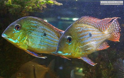 Geophagus altifrons 'Tocantins'