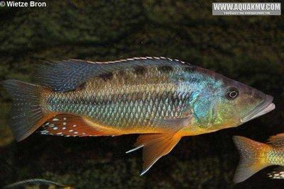 Tyrannochromis Maculiceps - large.16711862_756253144526308_7377345031975091237_n.jpg.2ebf4c326675eb153d8f20e185abb8f7 (1).jpg