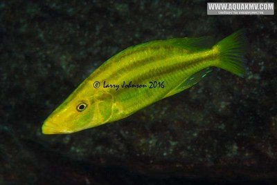 Dimidiochromis compressicpes at Linganjala Reef - large.15578741_10154737121315502_8230639728993917058_n.jpg.30b49b1f8d4c81e2bb6b6c4977987a7a.jpg