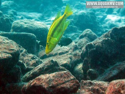 dimidiochromis compressiceps - large.14991803_667296813425196_1334331370534890772_n.jpg.75c91f5be4fabb1d191616abe397adbf.jpg