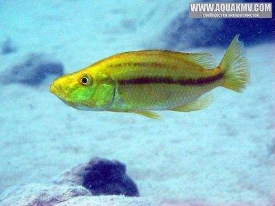 dimidiochromis compressiceps - large.15055733_667296720091872_7315741131867319668_n.jpg.c444b1870003bd4cd5a42153e64b6140.jpg
