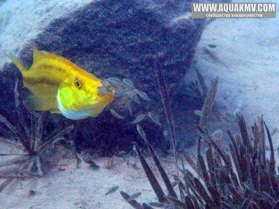 dimidiochromis compressiceps - large.15055844_667296710091873_6645081070342596131_n.jpg.dabd42d53e5dc15d04ce47cbd67910ce.jpg