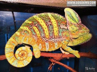Йеменский хамелеон Chamaeleon calyptratus  - 3296815944[1].jpg