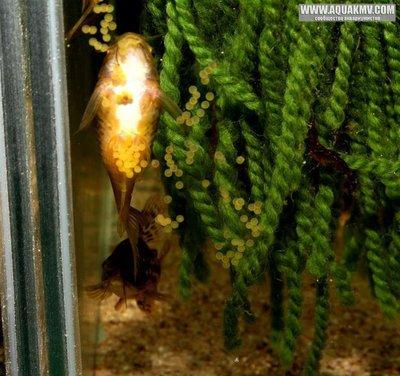 Коридорас волнистый Corydoras undulatus  - 14993422_1142977632451173_1102348742289916087_n.thumb.jpg.58520a0951a0ed79d9038a10f0c86205.jpg