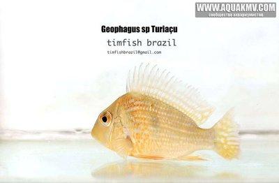 Geophagus sp Turiaçu