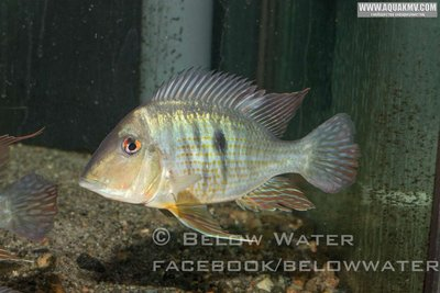 """Geophagus spec. """"New South of Colombia"""