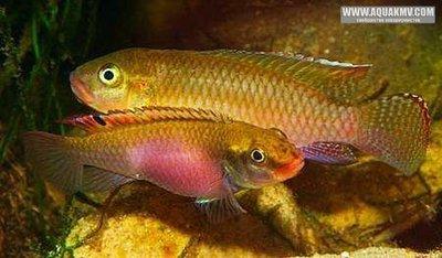Congochromis sabinae Lamboj, 2005  - IMG_2184.JPG