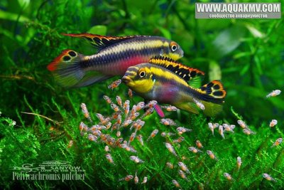 Pelvicachromis pulcher - Попугай обыкновенный - 17951961_1278673528836666_2726239563026259325_n.jpg.f642e9bca4f06ceb020abe14e6251236.jpg