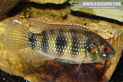 Anomalochromis thomasi - large.poisson_428.jpg.edcf81dee7c7ee5a8a5fb45f3f8db7b4.jpg