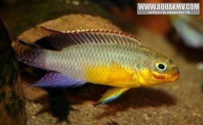 Pelvicachromis taeniatus dehane - large.smaragd_prachtbarsch_dehane_preis_pro_paar.jpg.4dc745927c3a33bd0e17e083863cc4fc.jpg
