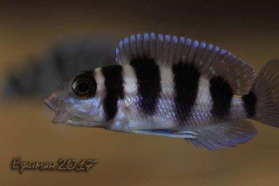 Neolamprologus tretocephalus - large.IMG_8926.jpg.7002b392eb9f27f68b02635456db6495.jpg