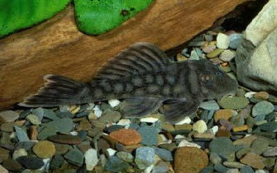 Молодой Baryancistrus sp. L019  - Baryancistrus-sp.-L019.jpg