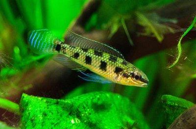 Dicrossus maculatus - IMG_2338.JPG