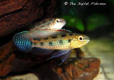 Dicrossus maculatus - IMG_2339.JPG