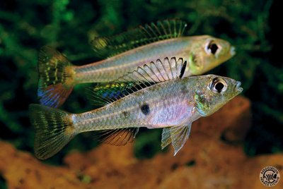 Biotoecus aff. opercularis - IMG_2340.JPG