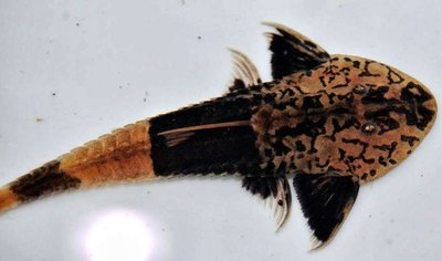 Pseudohemiodon Apithanos - IMG_2347.JPG