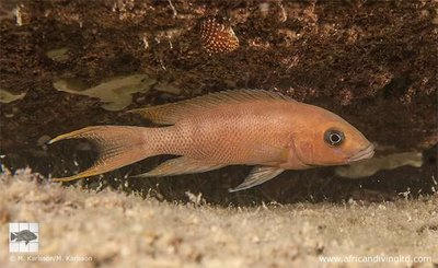 "Neolamprologus sp. ""Cygnus"" Kisi Island"