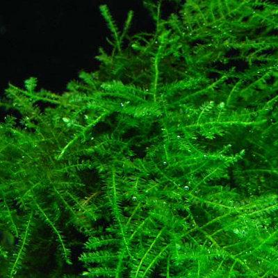 МХИ и все о них - Vesicularia-dubyana-Singapore-Moss-plant-for-sale-and-where-to-buy-Aquaticmag.jpg