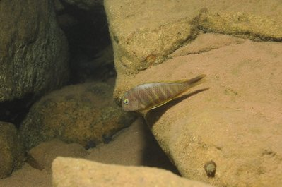 tropheus brichardi  север kigoma