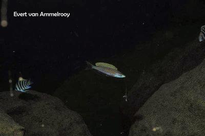 Cyprichromis microlepidotus Kigoma глубина около 40 м Эверт начал нырять :  - 12805785_1742367939331965_219344200565346807_n.jpg.f6f5db741b3eb6ad6a53f22a3dac5eac.jpg