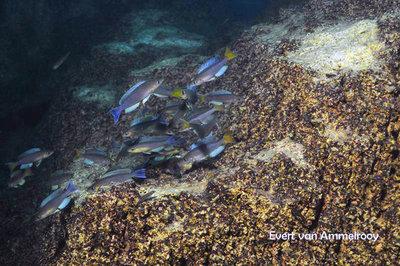 Cyprichromis Kigoma - 166047_1742407529328006_599188041773817125_n.jpg.ec4b34952bfb4ac38413945f4bad8ddb.jpg