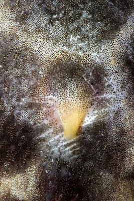 Самка Pterygoplichthys pardalis L021  - Pterygoplichthys pardalis L021_4.jpg