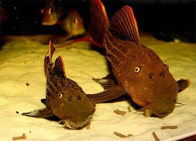 Pseudacanthicus pitanga L024  - Pseudacanthicus-pitanga-L024_4.jpg