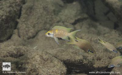 Kushangaza N. brichardi, Tanzania - neolamprologus_brichardi_kushangaza_1.jpg.1bd43d0d4d8f3bf45affda97481d353d.jpg
