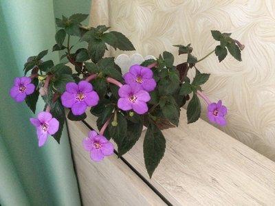 Ещё одна страсть - комнатные цветы  - IMG_2277.JPG