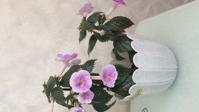 Ещё одна страсть - комнатные цветы  - IMG_2649.JPG